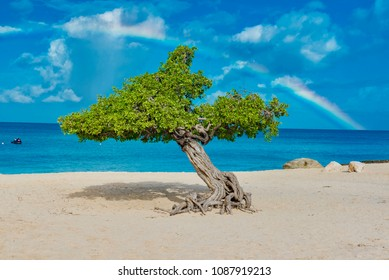 "rainbow over the Caribbean sea after the storm on the white beach and Fofoti tree ""divi divi"" island of Aruba"