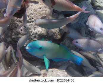 A rainbow parrot fish among several common parrot fish.