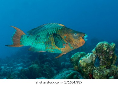 Rainbow Parrotfish (Scarus guacamaia) swimming over a coral reef - Bonaire