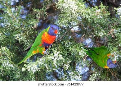 rainbow parrots in Australia