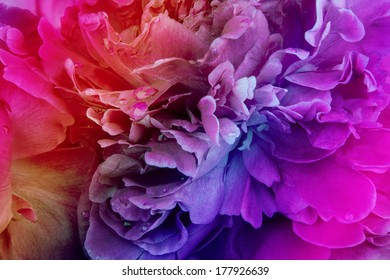 Rainbow peony background with colored filter