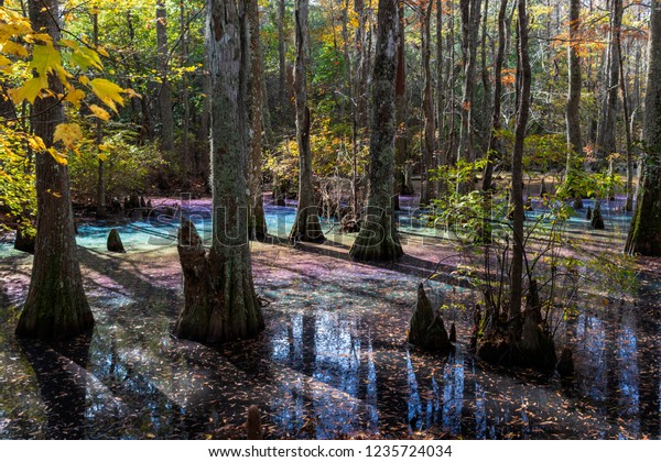 Rainbow Sheen in a Cypress Swamp as a Result of Decomposing Leaves Releasing Tannins