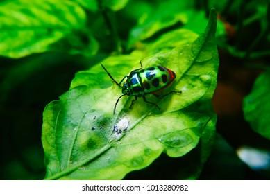 Rainbow Shield Bug ( Calidea dregii ) On Green Leaf , Close Up , Selective Focus