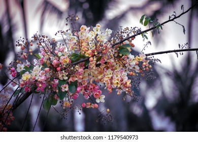 Rainbow shower trees or Cassia fistula/Cassia bakeriana/Cassia javanica ; A brightly colors are eye-catching, pinkish white flowers, bunch into large bouquet, on high trees, wallpaper concepts .
