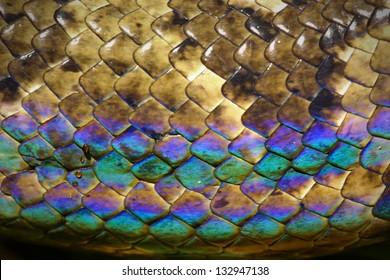 Rainbow snake skin. Malagasy or Madagascar Tree Boa (Boa manditra or Sanzinia madagascariensis) in Ranomafana, Madagascar. Iridescent blue, purple, red scales shine in sun.