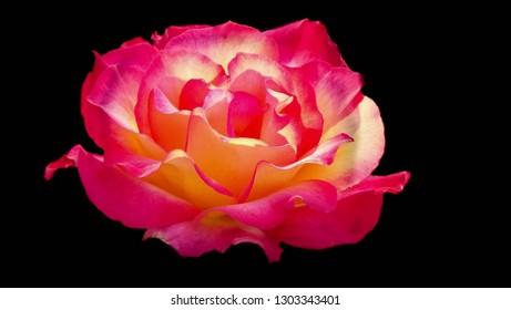 Rainbow Sorbet rose on a black background