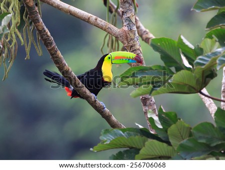 Rainbow Toucan Sees Lunch on the Tree.