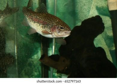 Rainbow Trout in an aquarium