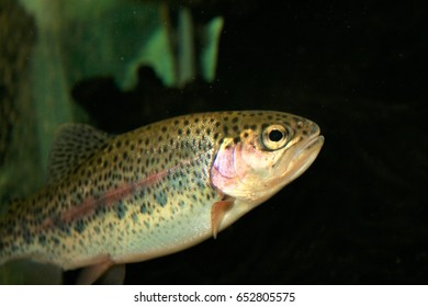 Rainbow trout by a submerged log