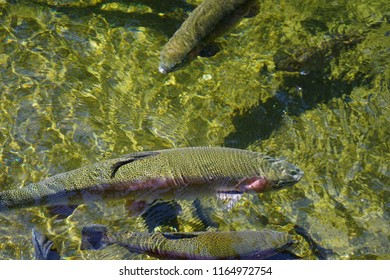 Rainbow trout in fish pens of the Hatchery at Bonneville Dam on the Columbia River in  Oregon