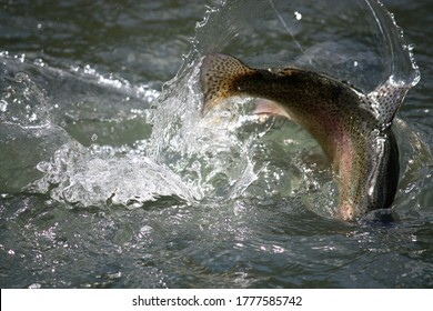 rainbow trout flopping in the river