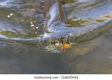 Rainbow Trout With A Fly In Its Mouth