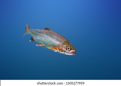 The rainbow trout (Oncorhynchus mykiss) in the lake.The rainbow trout (Oncorhynchus mykiss) in the lake.Trout in the blue water of a mountain lake.