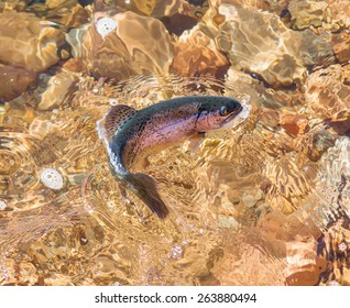 Rainbow trout play in the water of a lake or river