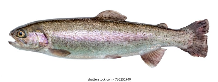 Rainbow trout river fish isolated
