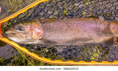 Rainbow trout are safely in the net