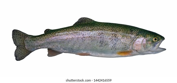 Rainbow trout salmon fish isolated on white background