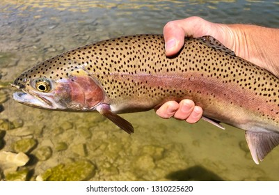 Rainbow trout in spawning colors caught fishing by a fly fisherman