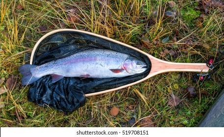 Rainbow trout in wooden landing