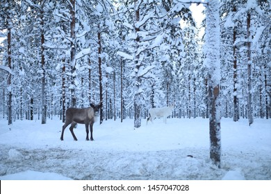 raindeer in the forest lapland finland