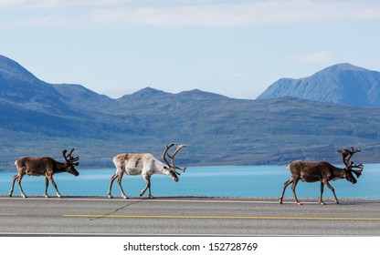 raindeer in Norway