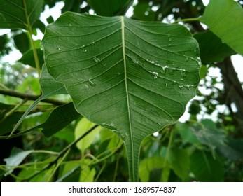 Raindrop on the bo leaf, pipal tree, bodhi leaf