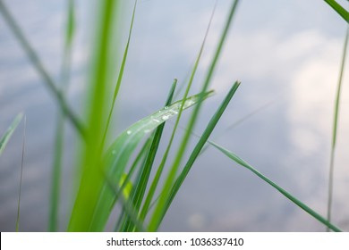 raindroped on vetiver grass at the lake