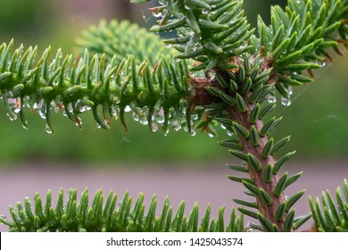Raindrops hanging on the soft needles of Abies pinsapo (Spanish fir)
