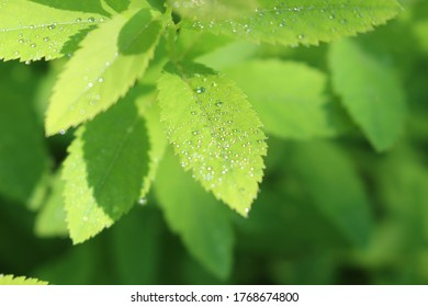 Raindrops lie on green leaves and shine with a golden and silver sheen.