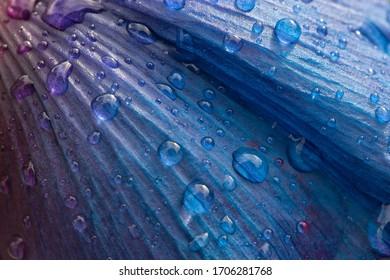 Raindrops on Blue to Purple Shaded Flower Petal Macro