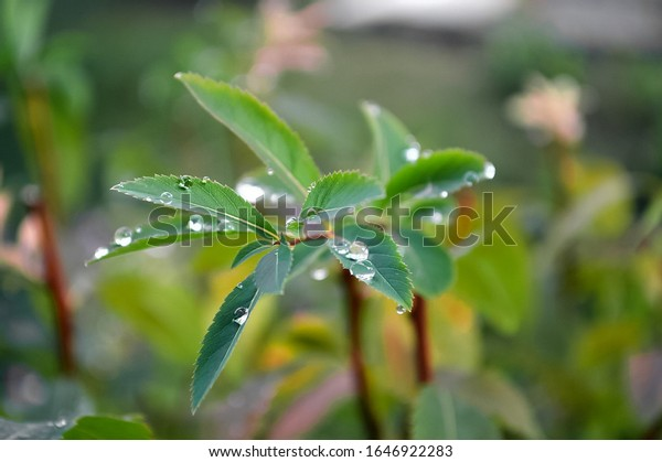 raindrops-on-green-leaves-twig-600w-1646
