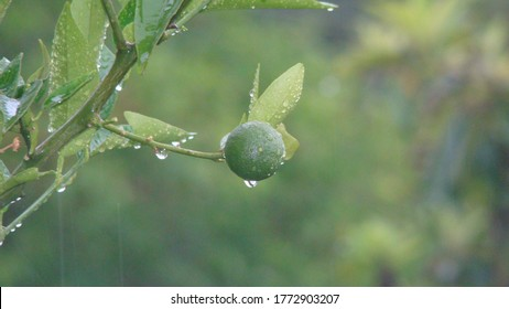 raindrops on a green lemon 			close up of raindrops 			closeup raindrops 			lemon . fruit . tree . rain 			nature, wild nature, forest, woods, mountain, garden, park.