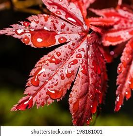 Raindrops on a Japanese Maple Leaf