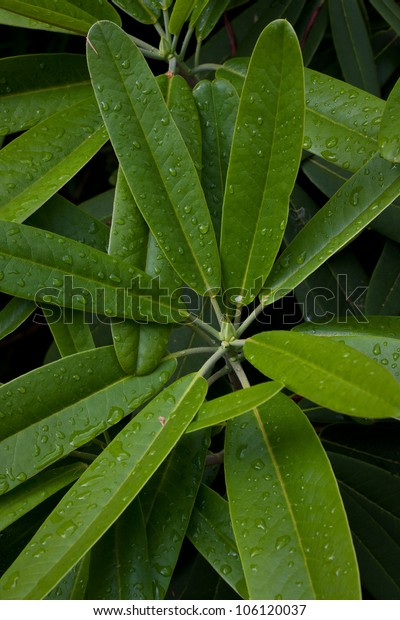 Raindrops on rhododendron leaves.