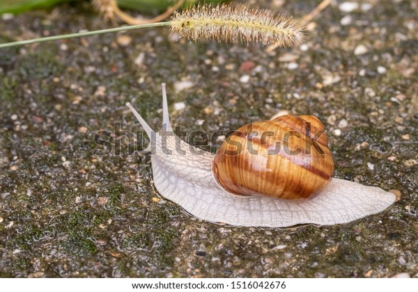 Raindrops on a spikelet above the head of a land snail