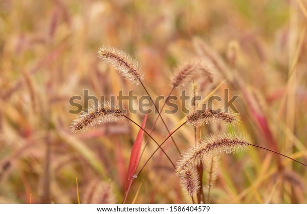 raindrops-on-spikelet-weed-cereal-600w-1
