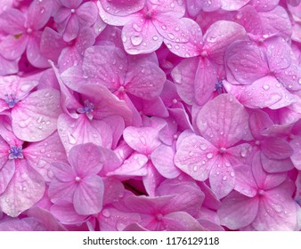 raindrops on vibrant violet colored hortensia flower close up, natural pattern background