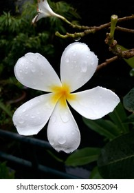 raindrops on white plumeria
