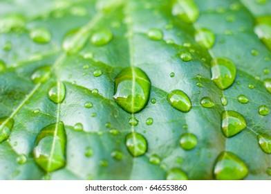 Rainfdrops on Scotch bonnet plant.