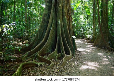 Rainforest buttress roots and strangler figs at Mary Cairncross Reserve