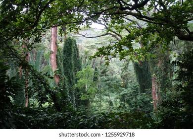 Rainforest in Hawaii along the Manoa Falls Trail