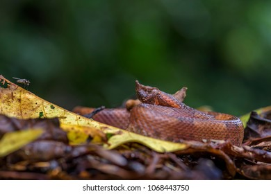Rainforest Hognosed Pitviper - Porthidium nasutum, dangerous venomous pit viper from Central America forests, Costa Rica.