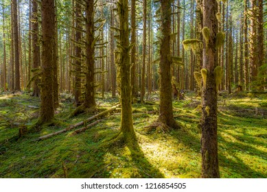 Rainforest with lots of trees covered with moss. Hoh Rain Forest, Olympic National Park, Washington state, USA