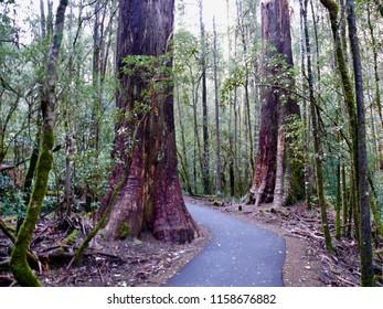 Rainforest pathway Russell Falls Tasmania