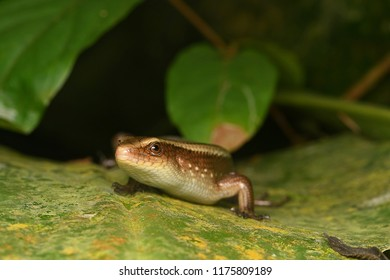 rainforest skink lizard species