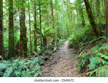 Rainforest walking track, Yarra Ranges, Victoria, Australia.  Mountain ash and myrtle beech trees, and tree ferns, make this an idyllic spot for a hike.