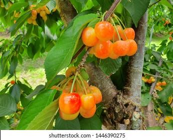 rainier cherry tree (golden yellow cherries in an orchard)