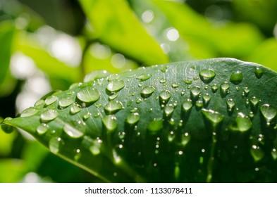 Rains drop on green leaves