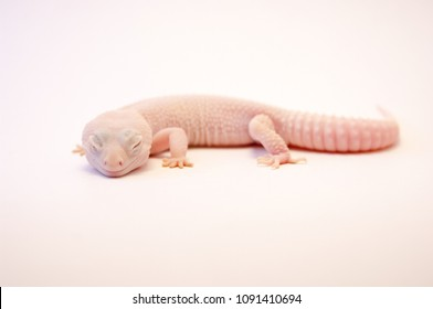 Rainwater albino gecko (Eublepharis macularius) full body on white background. Pink albino lizard isolated on white. Common gecko as a pet. Albino Gecko with eyes closed shot in studio.