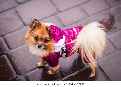 In a rainy autumn, a Pomeranian in clothes